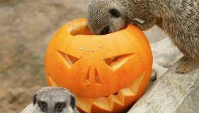 Meerkat Babies' First Halloween