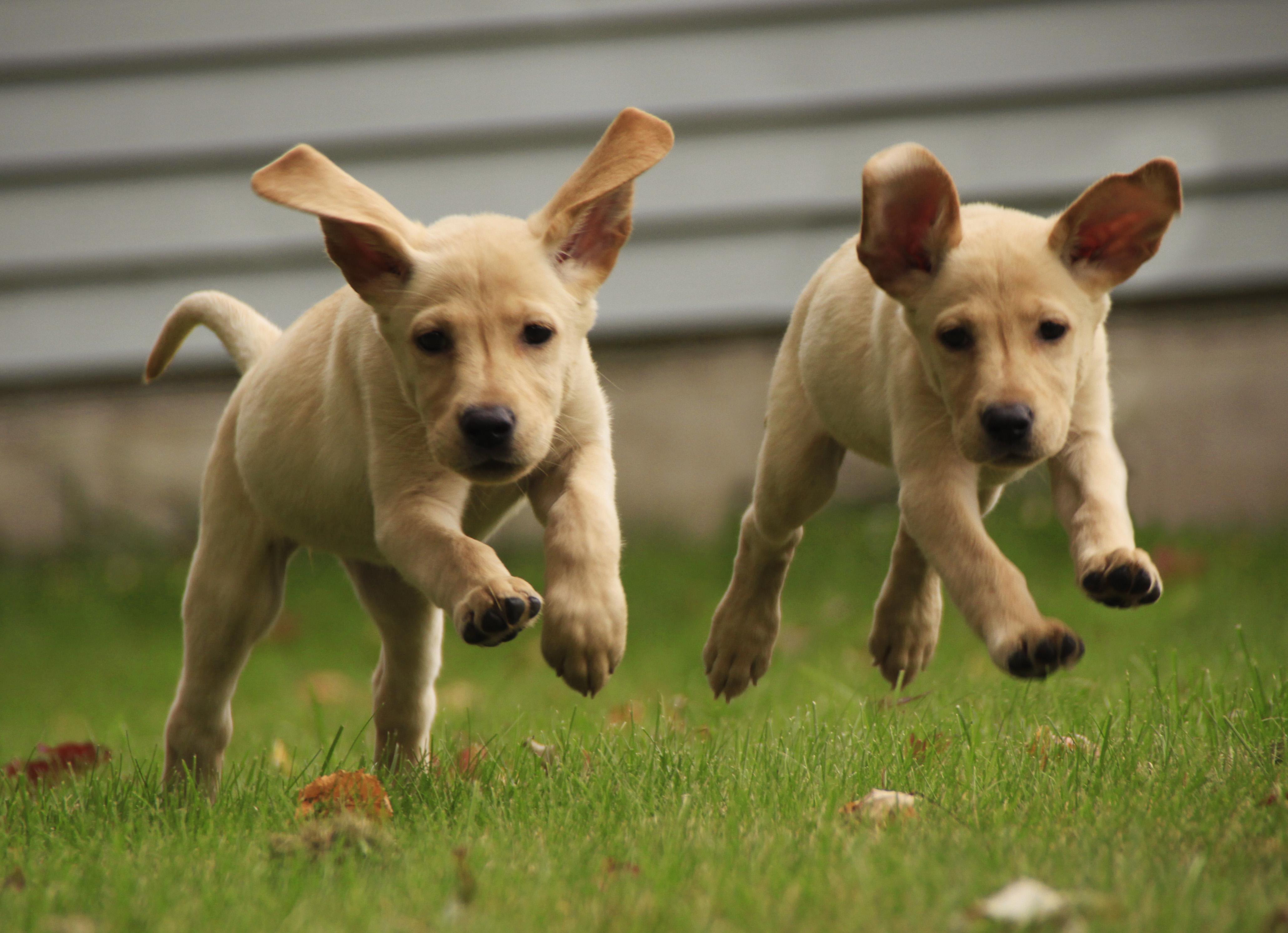 Yellow labrador puppies running