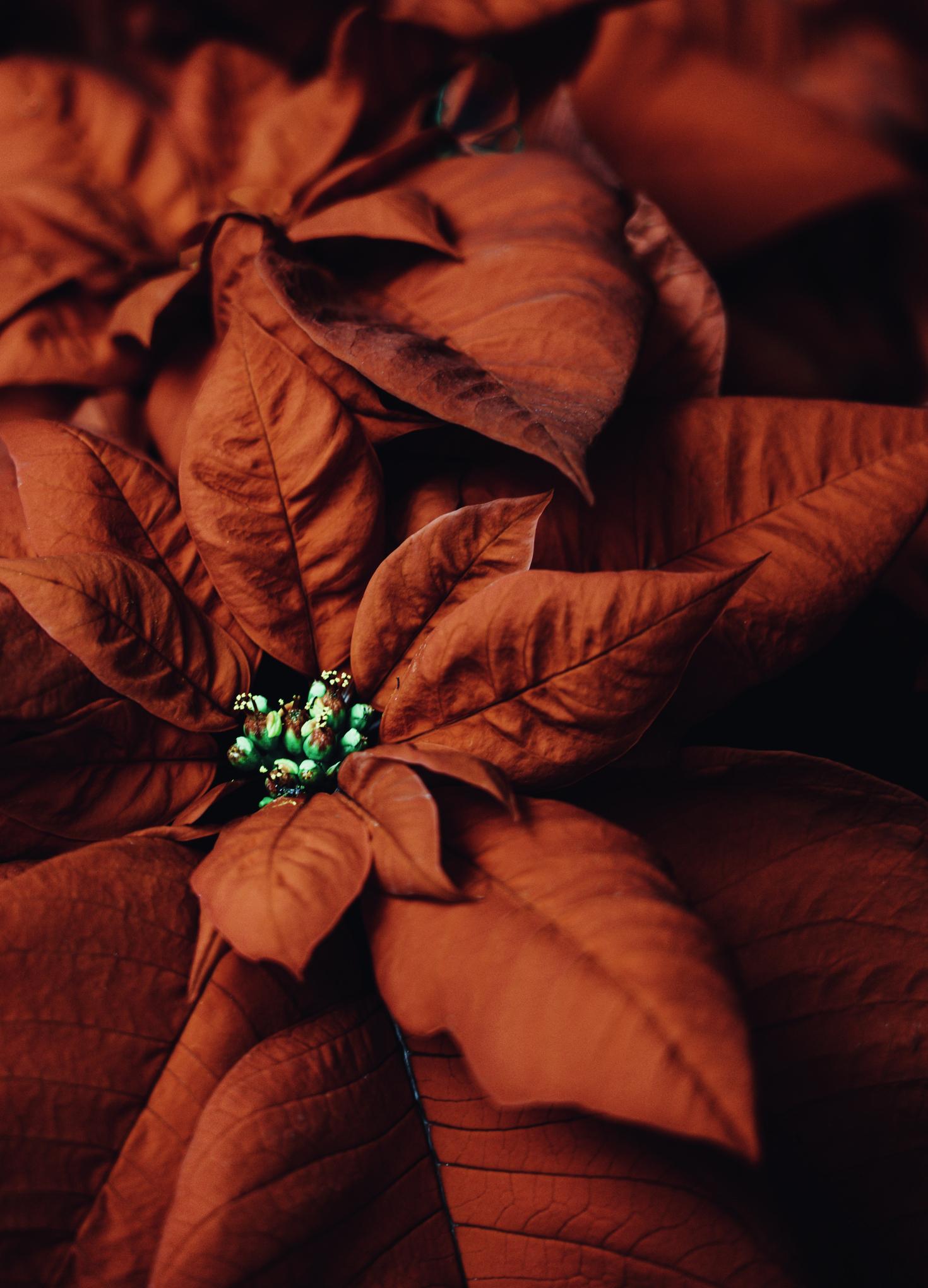 Close up of Christmas Poinsettia