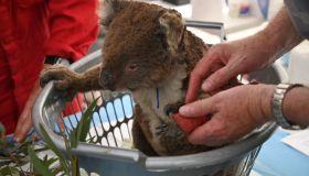 AUSTRALIA-FIRES-ANIMALS-KOALA